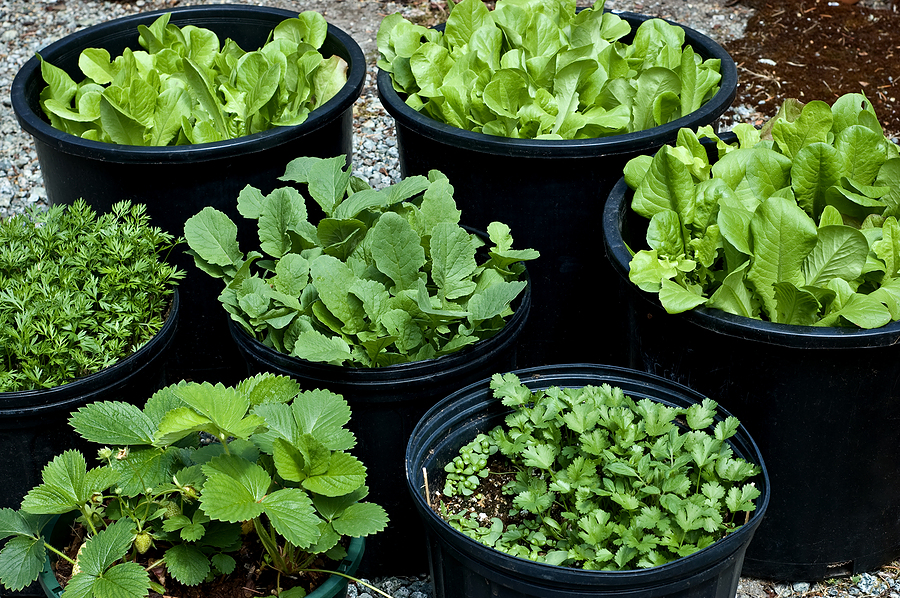 TOP 3 EASIEST VEGGIES To PLANT NOW For FALL EATING! GIY (Grow It .