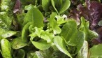Top-3-Easiest-Veggies-to-Plant-NOW-for-Fall-Eating|Grow-it-yourself|mesclun-lettuce